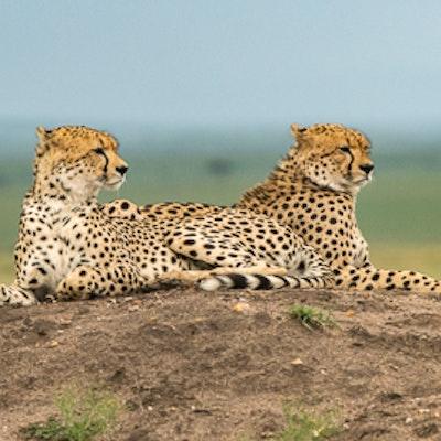 Kenya porini lion camp 7628.jpg?ixlib=rails 1.1